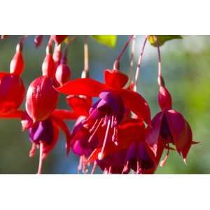 Fuchsia Flower Garden HUGE Fine Art Photograph By Michael