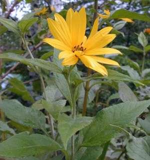 Topinambur kräftige Pflanzen in Dresden   Altstadt  Garten