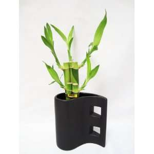 9GreenBox   Live 5 Style Lucky Bamboo Arrange w/ Black Hand Paint Tear