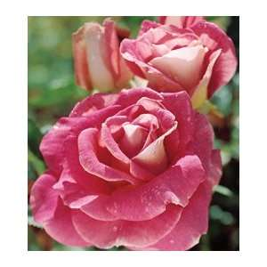 Change of Heart Hybrid Tea Rose Kitchen & Dining